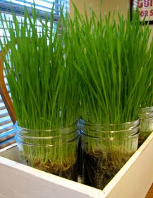 How to Grow Wheatgrass. My cat loves this stuff!