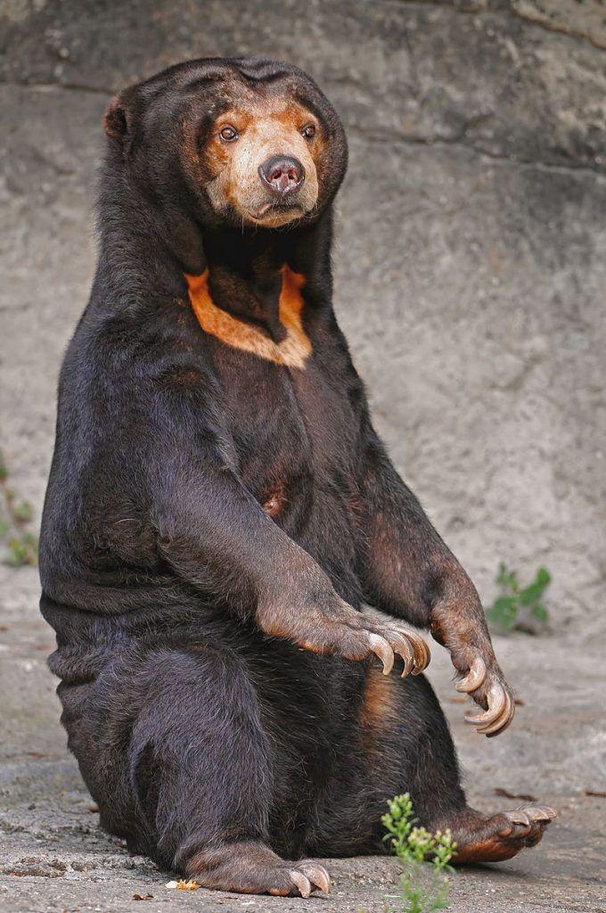 Indignación mundial por video de osos esqueléticos rogando por comida en zoológico de Indonesia