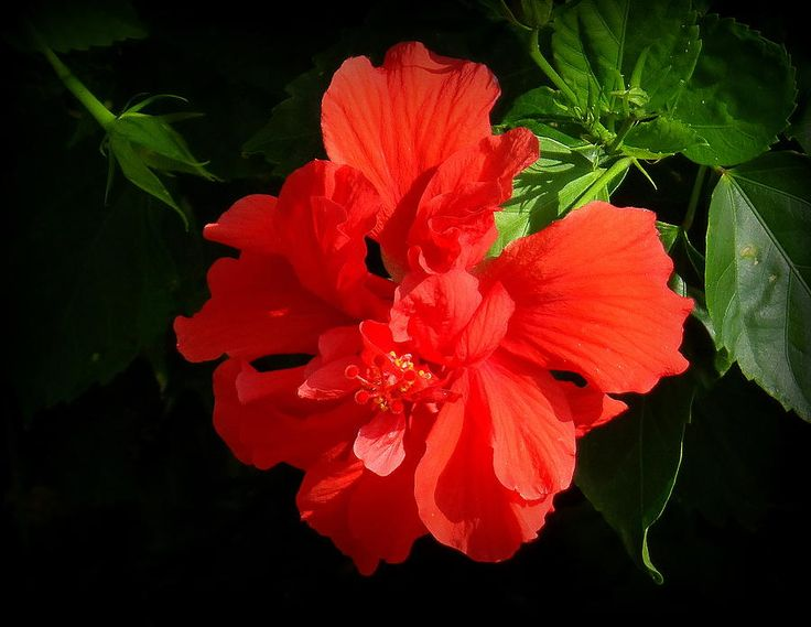 how to grow tropical hibiscus from seed