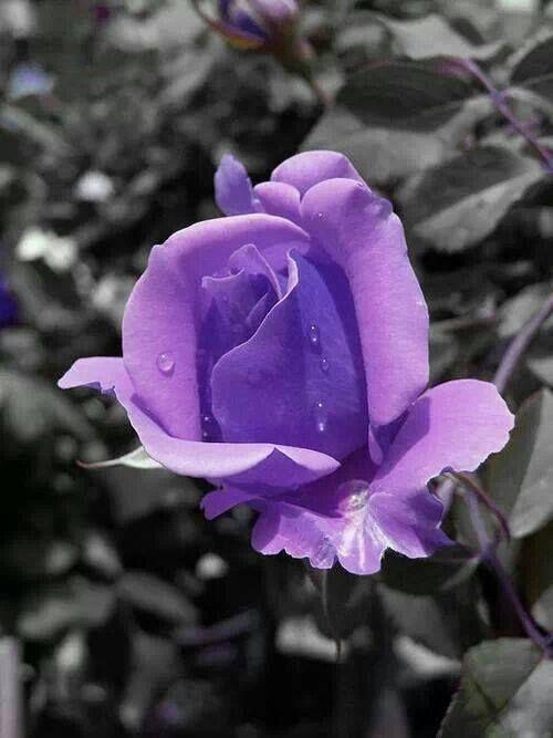 PHOTOGRAPHY ~ ColorSplashPurple Rose