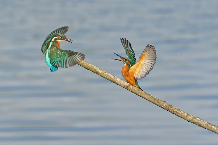 Two Kingfishers playing.
