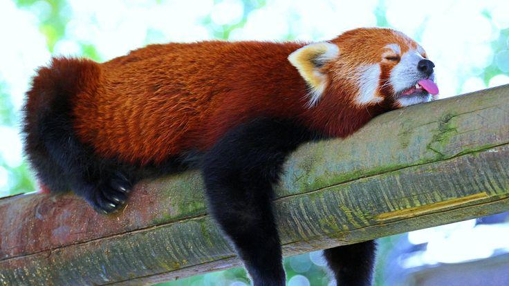Red Panda Full HD Quality Photos Red Panda Wallpapers