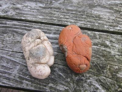 Bijzondere strandvondst  Hans van Leur uit Formerum deed vorige week vrijdag een bijzondere vondst op het strand ter hoogte van Hoorn. Het betrof 'Dodemansduim', een stuk zacht koraal. De dodemansduim is de enige koraalsoort in de Noordzee, en daardoor zeker het beschermen waard. Dodemansduim kan alleen in zeegebieden met een harde ondergrond en een sterke stroming leven. Helaas is de meeste harde ondergrond door de intensieve visserij verdwenen.