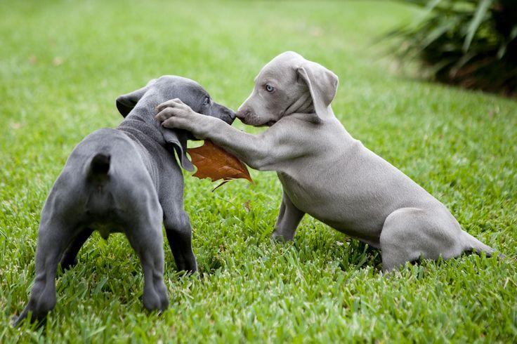 cuccioli weimaraner