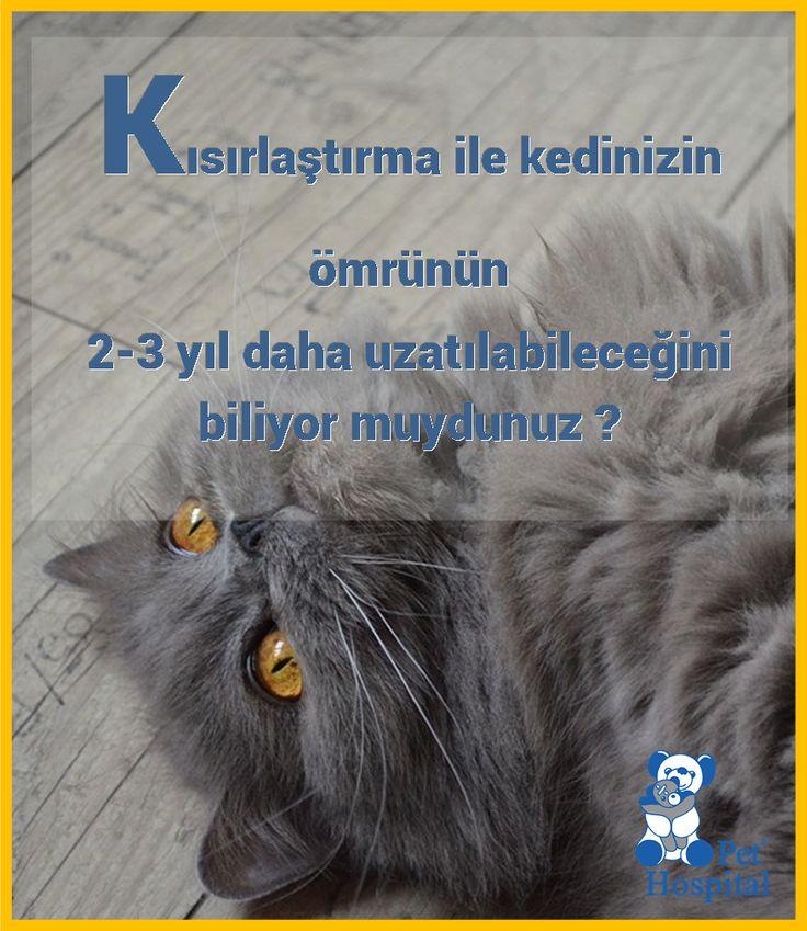 Kedilerin kısırlaştırılmasının, kedi ömrüne pozitif etkisi bulunmaktadır. #Kedi #Kedisever #kısırlaştırma #PetHospital