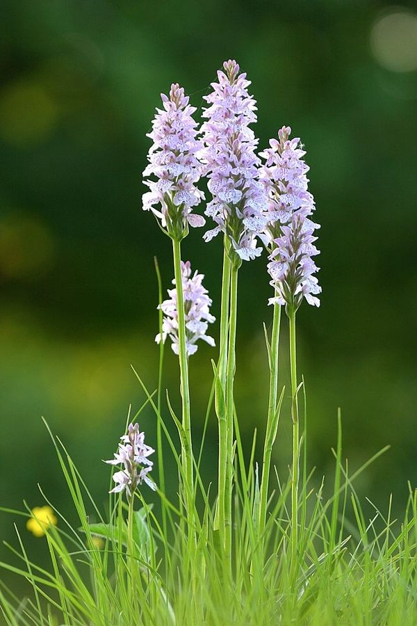 """Wild Orchids"" by Richard Loader"