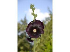 Alcea rosea var. nigra - topolovka, slézová růže Zahradnictví Krulichovi - zahradnictví, květinářství, trvalky, skalničky, bylinky a koření