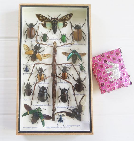 Real Rare Mix Walking Stick Bug Cicada Insect Taxidermy Display Wood Framed Box