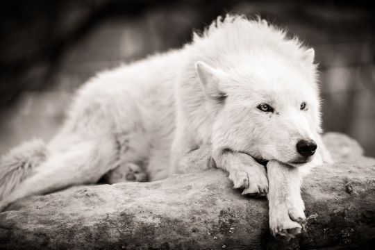 a sleepy white wolf...