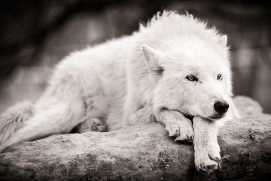 a sleepy white wolf...