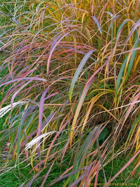 345 best ornamental grasses images on Pinterest Ornamental - carex bronze reflection