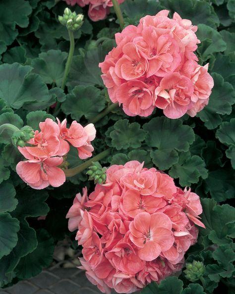 Em todo o mundo existem mais de 250 espécies diferentes do g énero Pelargonium a que vulgarmente chamamos Sardinheiras, Gerânios ou ent...