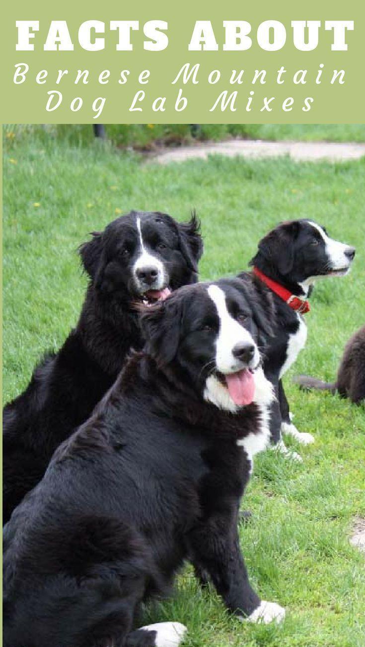 Bernese Mountain Dog And Lab Mix : bernese, mountain, Labernese:, Facts, About, Bernese, Mountain, (Gentle, Giants!), Labrador, Dogs,, Burmese