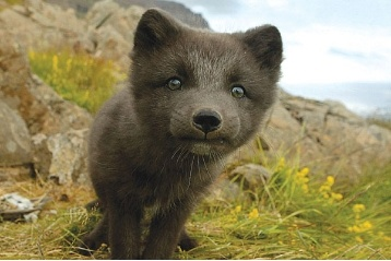 1000 Images About Arctic Fox On Pinterest