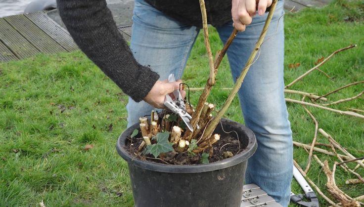 Hoe snoei je de Hortensia in de winter? Dat kan op 3 manieren. Tuinmanie...