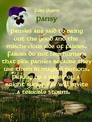 Fairy Plants - Pansy