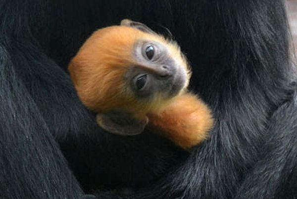 ORANGE BABY | Tango: Ginger Monkey Baby at London Zoo (Picture Gallery)