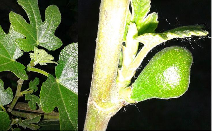 A füge egy finom gyógyszer, a cukorbetegség természetes ellenszere - Egészségtér - Természetes egészség