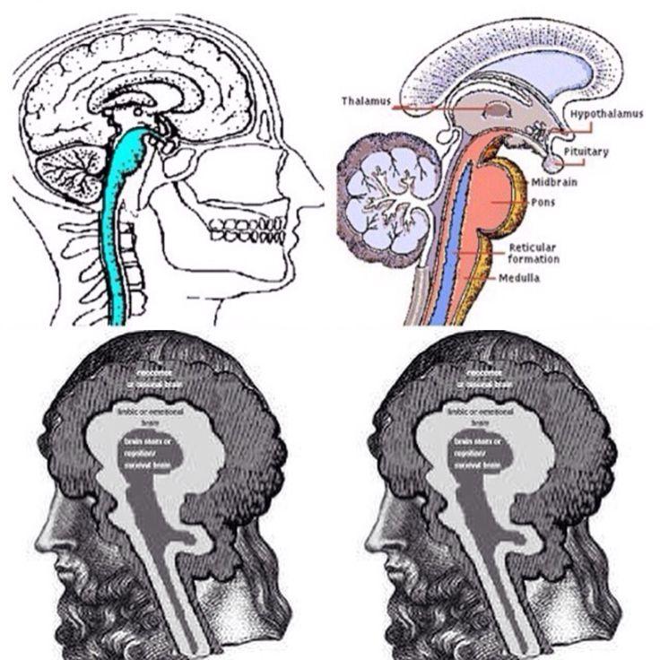 Neocortex: 25+ Best Ideas About Triune Brain On Pinterest