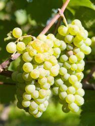 Die Weintraube 'Lakemont' gehört zu den kernarmen Traubensorten. Die Früchte sind mittelgroß, leicht oval geformt und mit einer dünnen hellgrünen Schale überzogen. Sie schmecken erfrischend und fruchtig süß. Ihre Reife haben sie im September/Oktober erreicht. Die Sorte 'Lakemont' erbringt gute und sichere Erträge. Sie ist pilzfest und verfügt über einen relativ starken Wuchs.