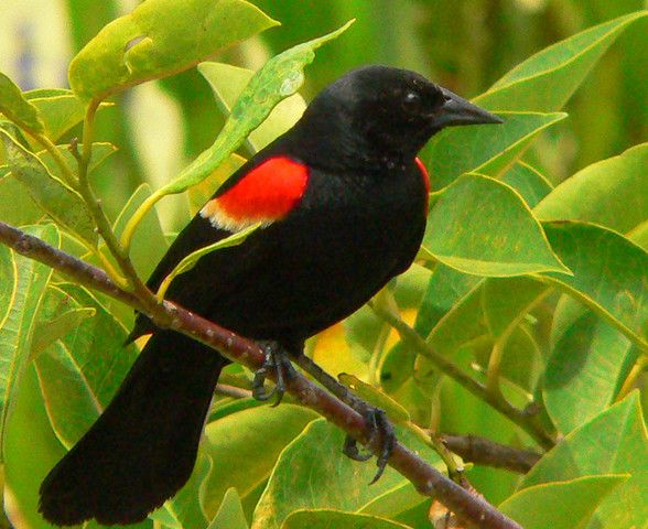 Black Bird With Red Stripe On Wing 1