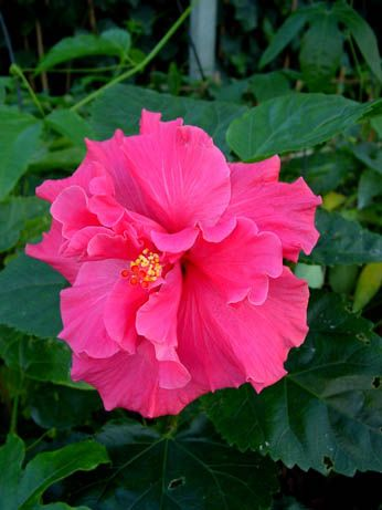 Hibiscus 'Ashley Jordan'