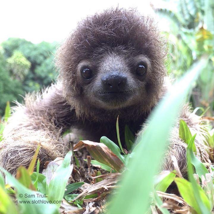 Baby sloth is getting so big! #SlothLove refuge Costa Rica