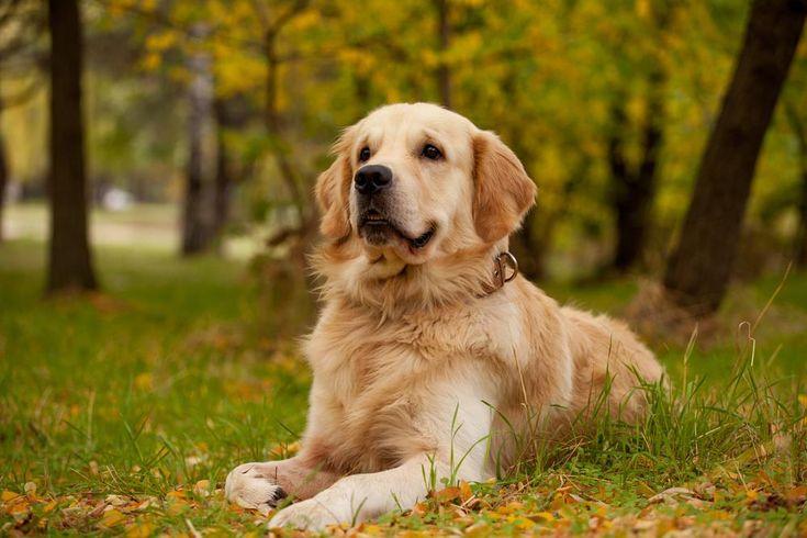 Golden Retriever - Akita - Dog Accessories online store,   Find the Best Dog Breeds, Dog breeds medium, dog breeds for kids, dog breeds for kids, puppies cute, puppies training, puppies stuff, popular dog breeds, popular dog breeds, popular dog names puppies, dog breath remedy,  Visit our site for Best Dog Breeds and best Popular Dog Accessories.