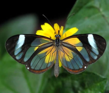 Found in Central America, from Mexico to Panama, the Glasswing Butterfly (Greta Oto) is a brush-footed butterfly where its wings are transparent. The tissue between the veins of its wings looks like glass.