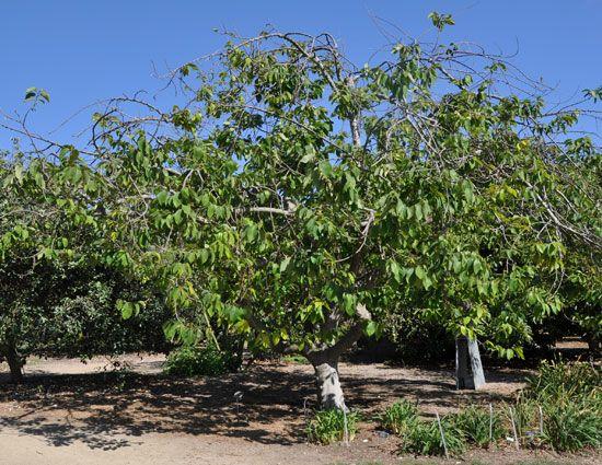 how to grow custard apple tree