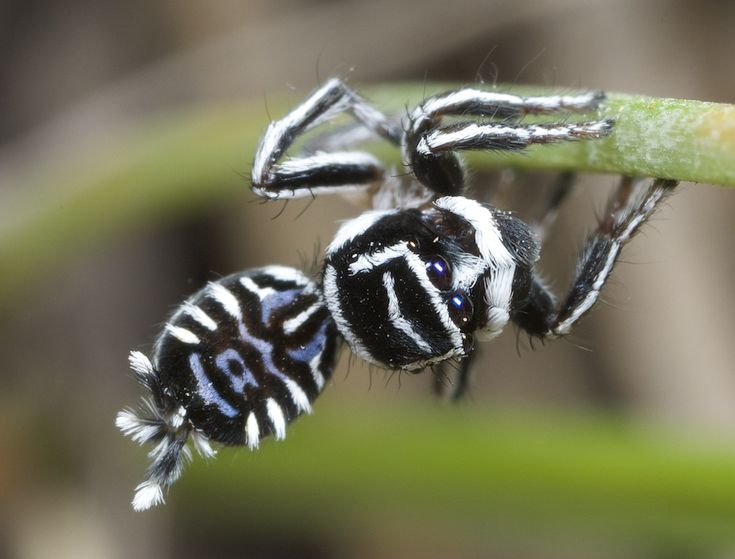 A male of the peacock spider species Maratus sceletus, which is nicknamed Skeletorus.