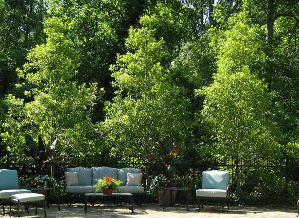 choosing small trees for a big impact february 2011 enewsletter savannah holly privacy screen. Black Bedroom Furniture Sets. Home Design Ideas