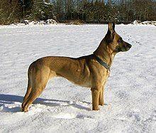 Le malinois est un chien de berger belge