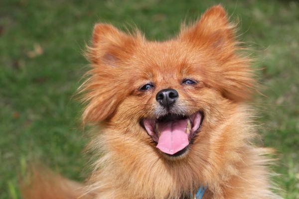 O Spitz Alemão parece que está sempre contente! Vem conhecer mais sobre esta raça lá no site :) #spitzalemao #cachorros #cães #animais #dogs