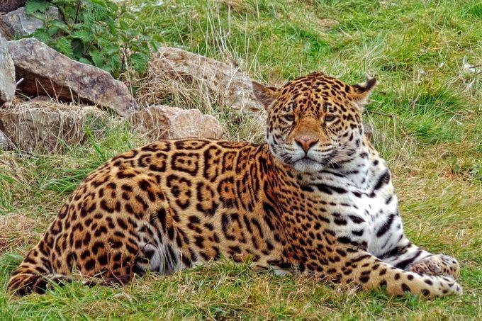 """Photo """"Mr.Jaguar"""" by Judoon101"""