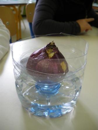 02a - La jacinthe : du bulbe à la fleur (1) -avec bouteilles en plastique