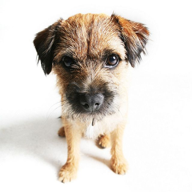 you looking at me?? | Scruffy dogs | Pinterest