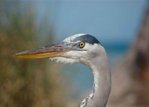 Great Blue Heron, headshot.