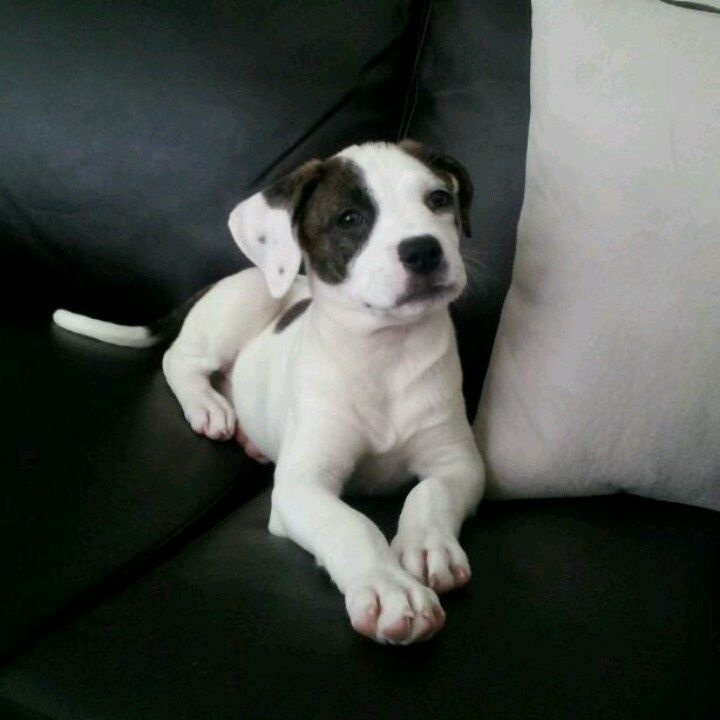 Black and White Boxer Mix Puppies