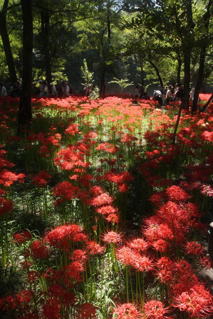 Lycoris in Kinchakuda Saitama Japan