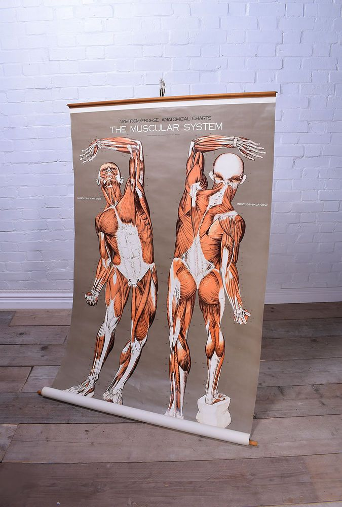 Anatomical Muscular System Pull Down Chart Poster Medical Anatomy Bones Human in Collectables, Paper & Ephemera, Posters   eBay!