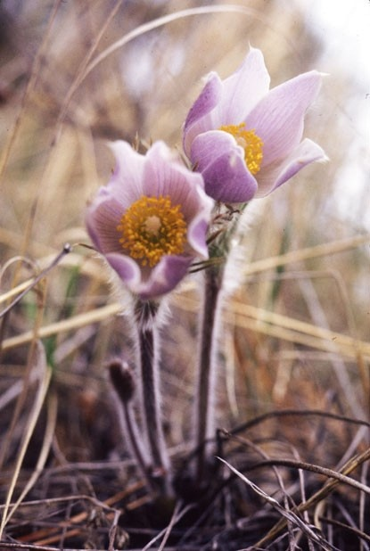 """Pasque Flower (Anemone patens) - Found in all prairie regions from the Arctic Circle to the Southern United States. It is the earliest of all prairie flowers blooming in March and April. Grows from 2 inches to 16 inches and sports a single blue, purple or white flower on a long, thin stem. Pasque flowers do not have true petals; instead it is the sepals that give the flower color. Ranunculaceae Family - From the Greek term anemone, meaning """"wind"""""""