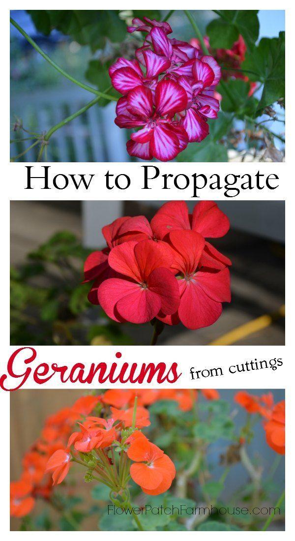 Cómo propagar geranios zonales (aka Pelargonium) por enraizamiento de esquejes, tan fácil y divertido.  FlowerPatchFarmhouse.com: