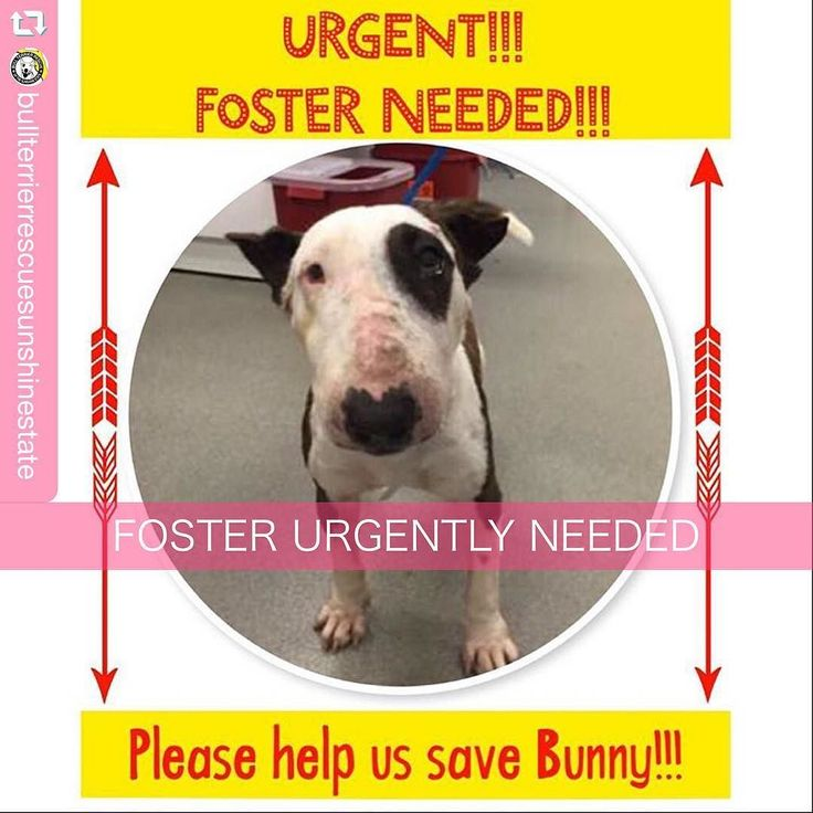 #repost @bullterrierrescuesunshinestate via @PhotoAroundApp  OK Bullie family we are down to the wire here!  There is a medically needy adult bull terrier at MDAS who we want to rescue but we simply CANNOT without FOSTERS!  All of our current fosters (and we do not have many!) are currently occupied... We have NO PLACE to put Bunny if we rescue her.  We will COVER ALL COSTS of her medical care food crate toys and anything else you might need while she is with you.  All you have to do is open…