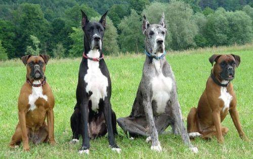 Boxer (das pontas) e Dog Alemão (no meio) são duas raças de cachorros grandes. (Foto: Reprodução / Google)