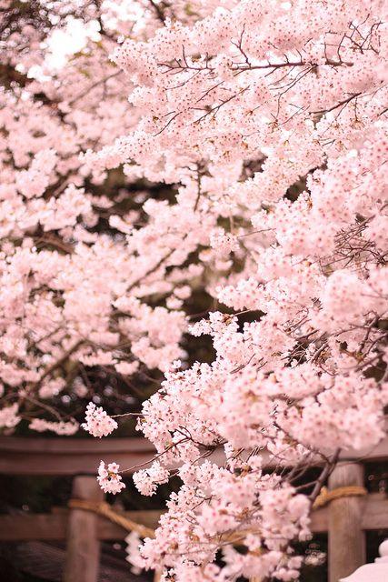 Sakura. Kumano-shrine. Japan. I would love to see the blossoms one year!!