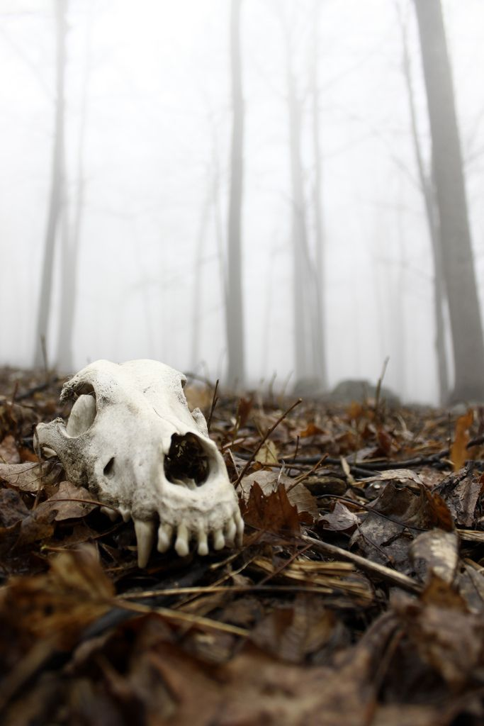 skull. bones. animal. forest. nature. decay. | RP » canine.