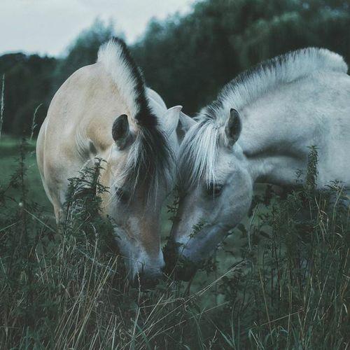 Beautiful fjord horses.