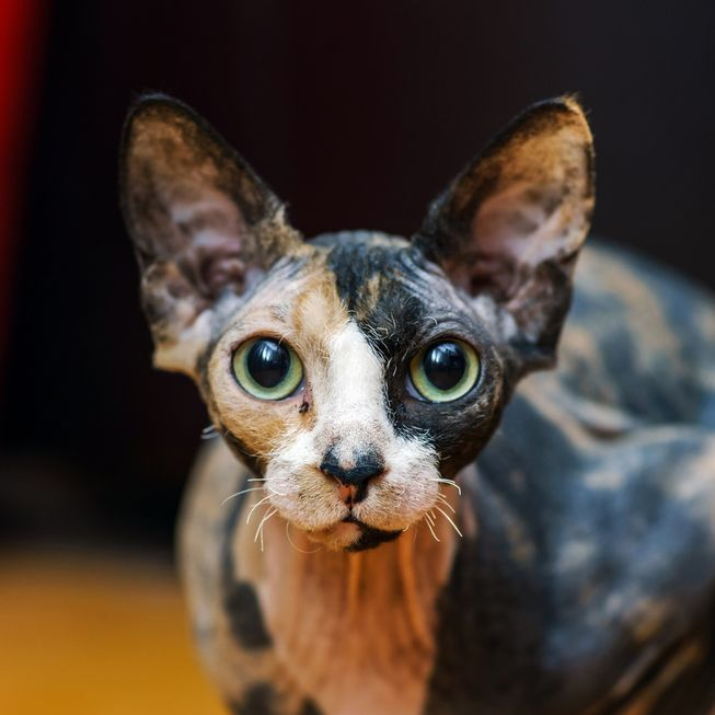 The tortoise shell coloring of this Sphynx cat is off-the-charts gorgeous.