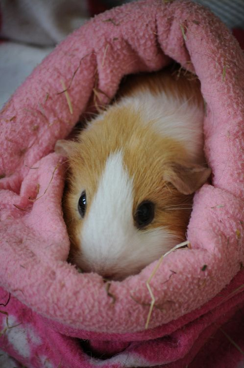 chillaxing guinea pig